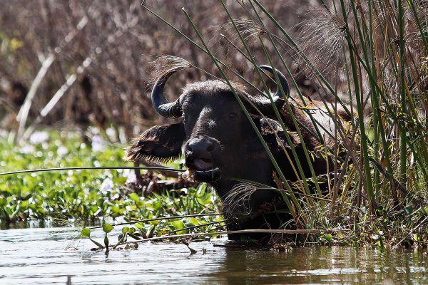 lake-naivasha-buffalo2CEFF044-0FDB-2F99-AA92-07AF514E9279.jpg